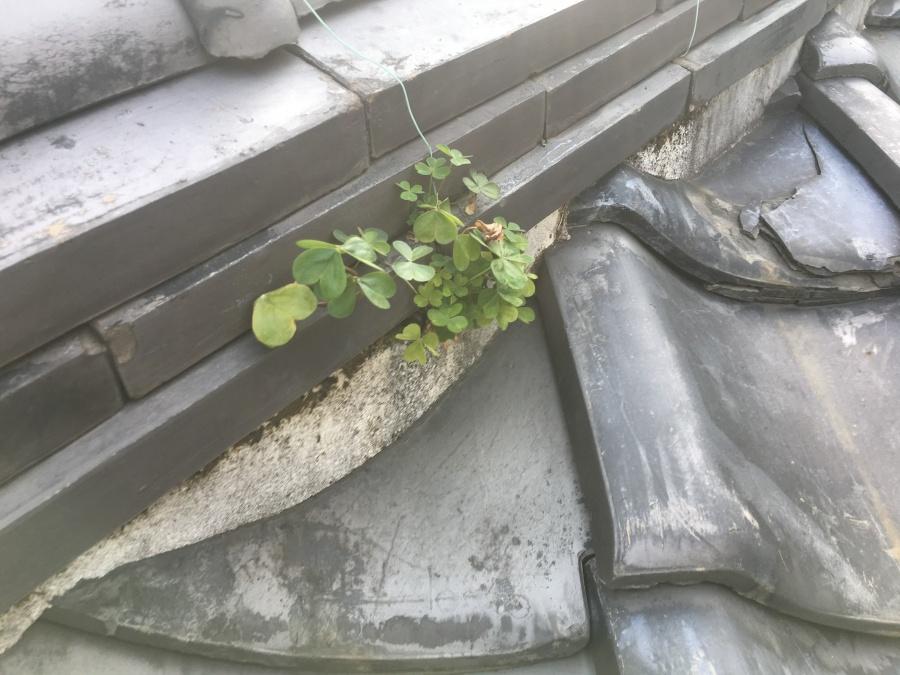 棟ののし瓦の隙間から、草が生えています