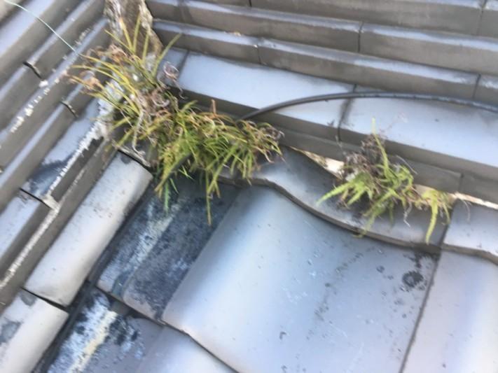 漆喰の剥がれ、葺き土から草が生えています。