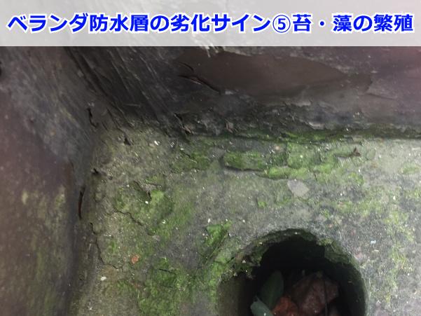 苔の繁殖した防水層(排水口まわり)